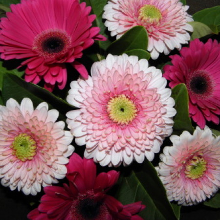 Mixed Pink Gerbera Bouquet Delivery