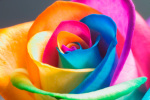 Single Rainbow Rose - Add on only